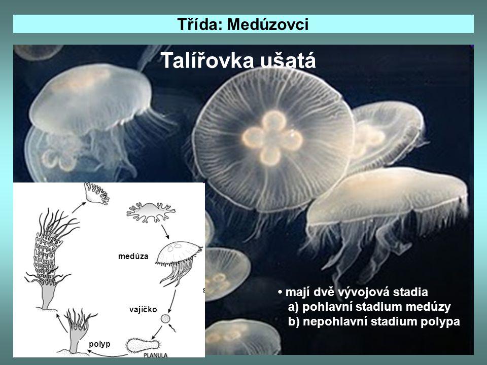 Talířovka ušatá Třída: Medúzovci • mají dvě vývojová stadia