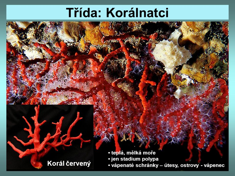 Třída: Korálnatci Korál červený • teplá, mělká moře