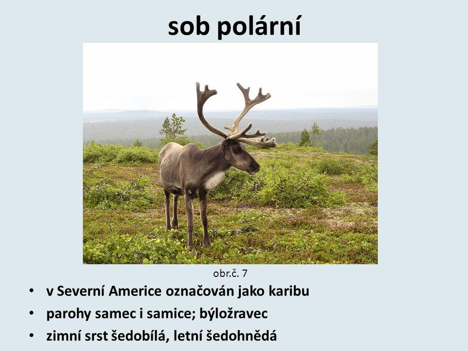 sob polární v Severní Americe označován jako karibu