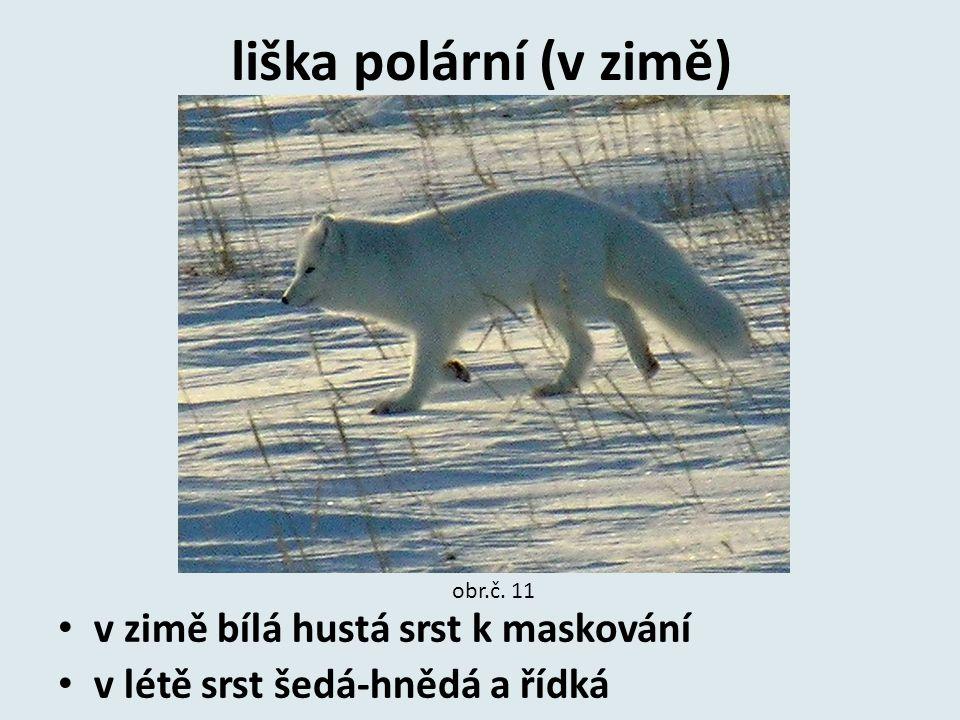 liška polární (v zimě) v zimě bílá hustá srst k maskování