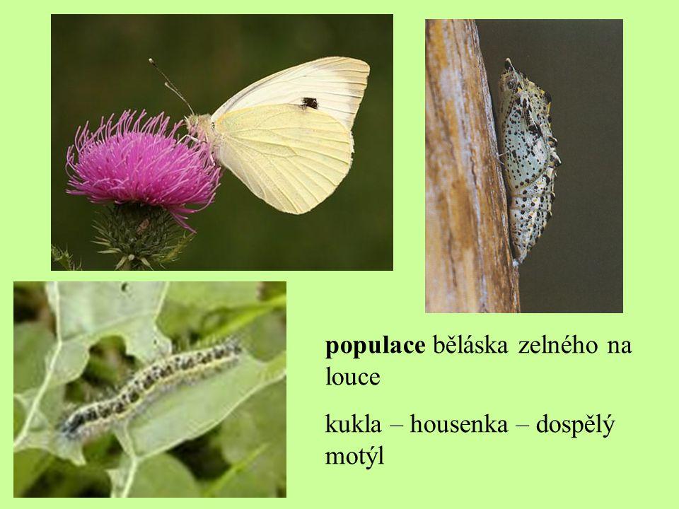populace běláska zelného na louce