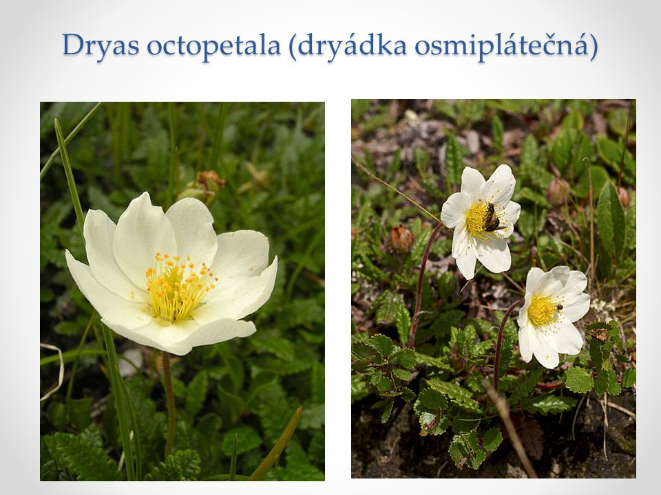 Dryas octopetala (dryádka osmiplátečná)