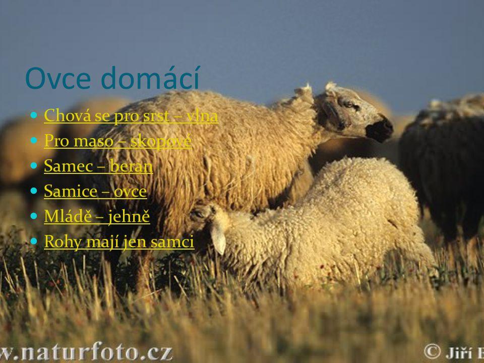 Ovce domácí Chová se pro srst – vlna Pro maso – skopové Samec – beran