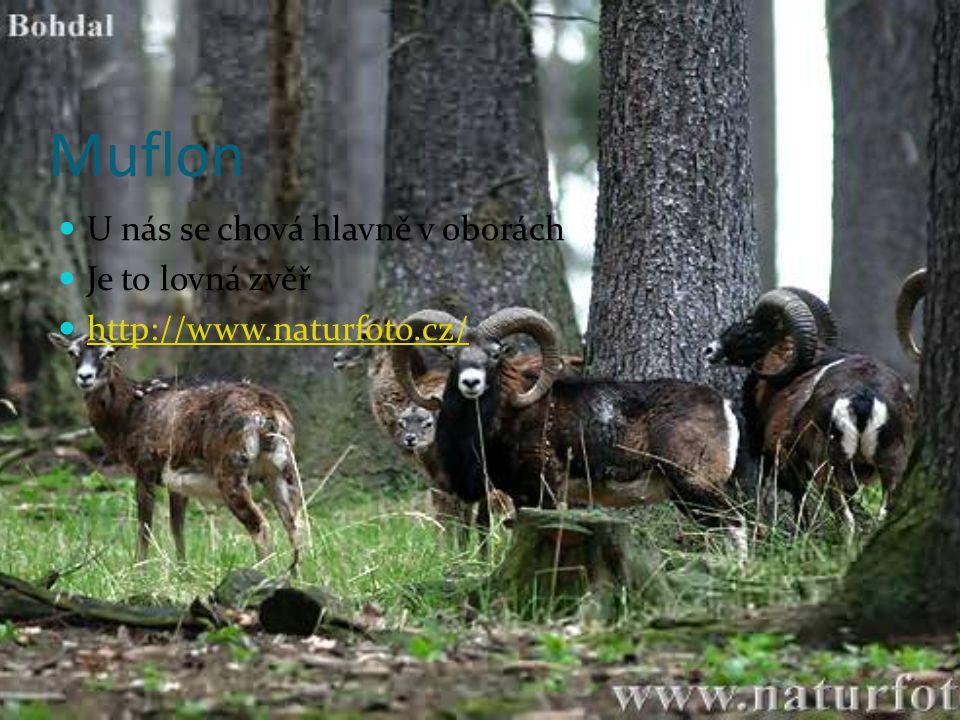 Muflon U nás se chová hlavně v oborách Je to lovná zvěř