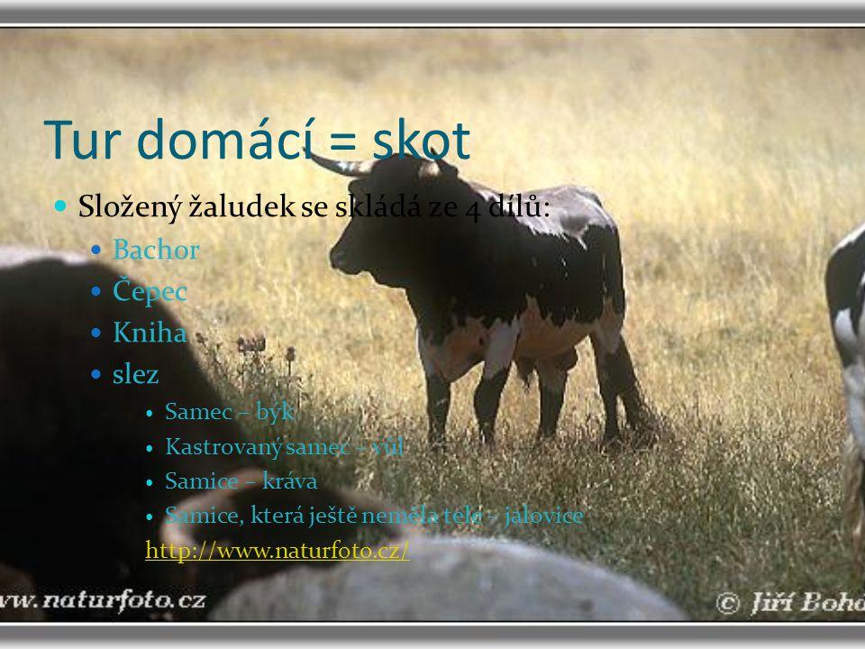 Tur domácí = skot Složený žaludek se skládá ze 4 dílů: Bachor Čepec