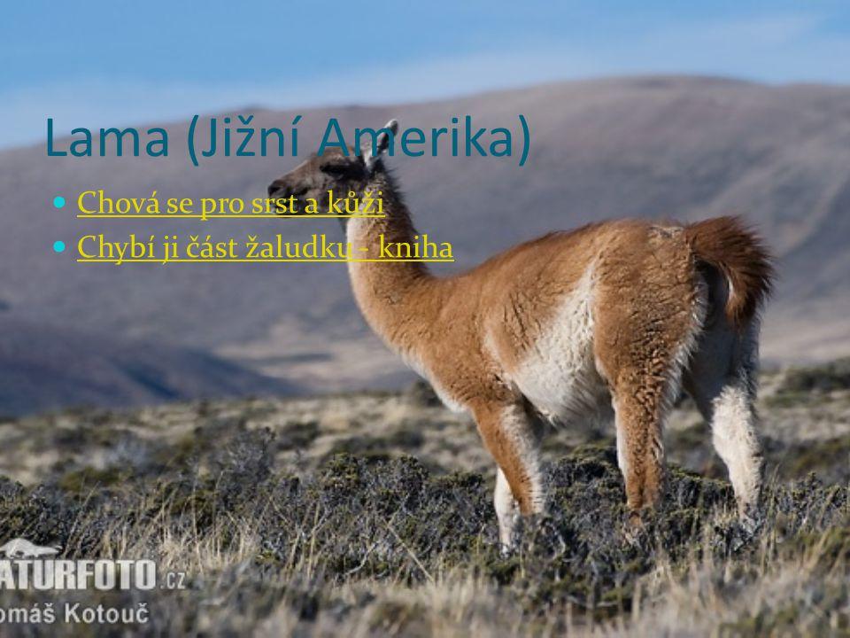 Lama (Jižní Amerika) Chová se pro srst a kůži