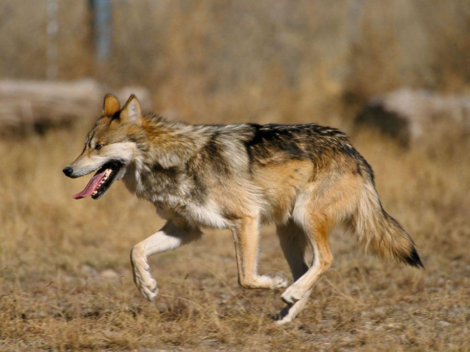 Historie výskytu vlka na našem území