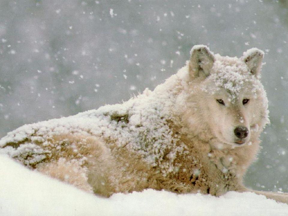 - část vlků se mohla také vrátit zpět na Slovensko
