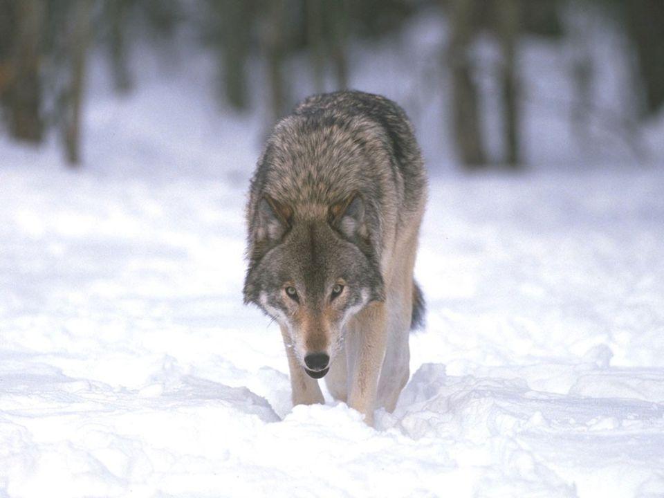 VLK (Canis lupus) Říše: Živočichové (Animalia)