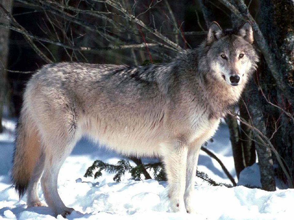 hmotnost – 25 – 50 kg, v severních oblastech až 80 kg