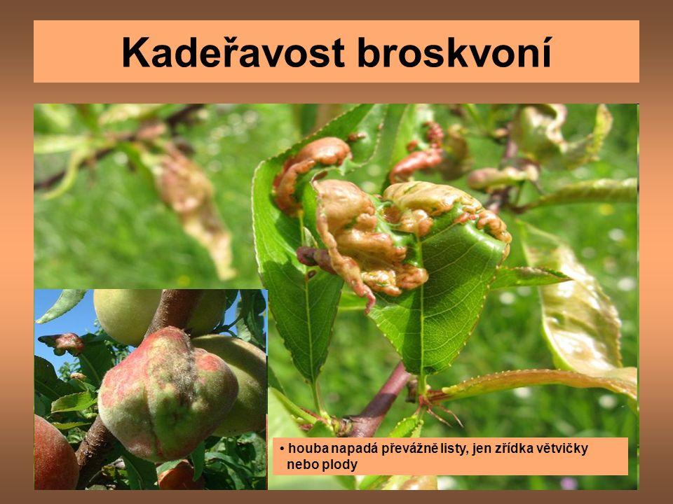 Kadeřavost broskvoní • houba napadá převážně listy, jen zřídka větvičky nebo plody