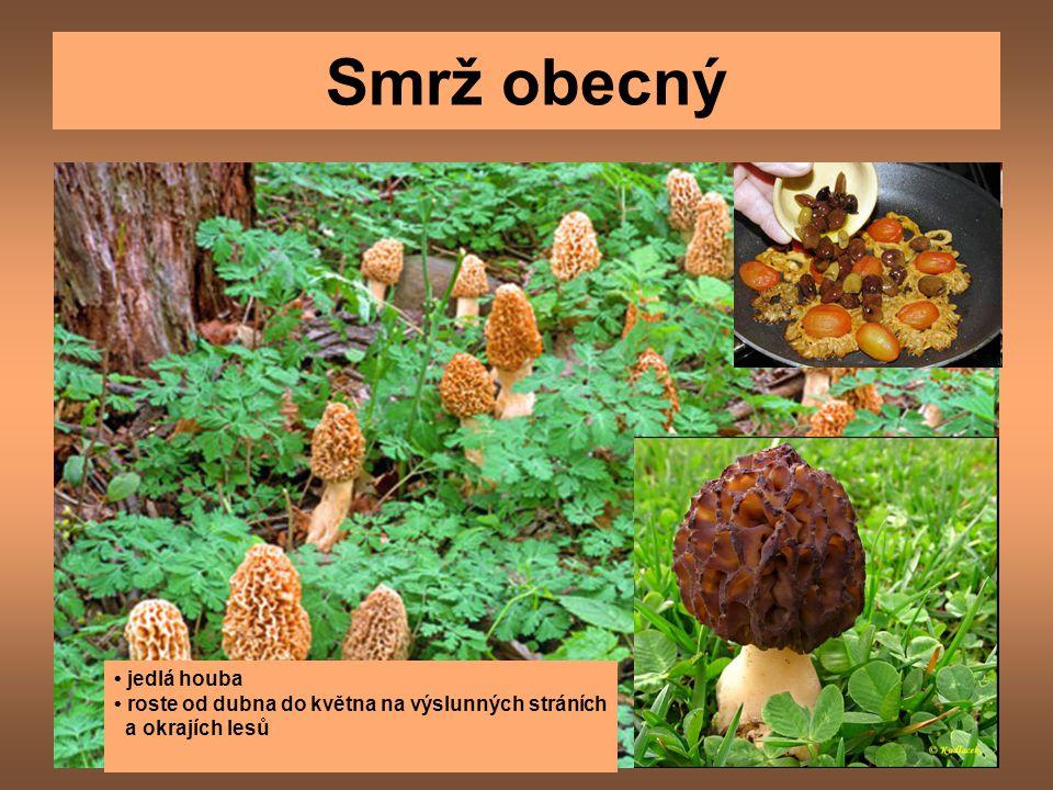 Smrž obecný • jedlá houba