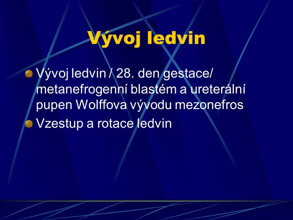 Vývoj ledvin Vývoj ledvin / 28. den gestace/ metanefrogenní blastém a ureterální pupen Wolffova vývodu mezonefros.