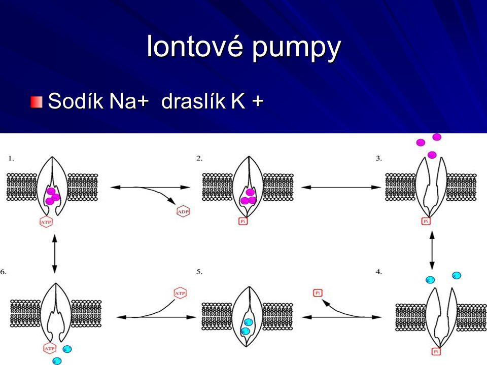 Iontové pumpy Sodík Na+ draslík K +