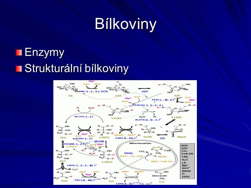 Bílkoviny Enzymy Strukturální bílkoviny