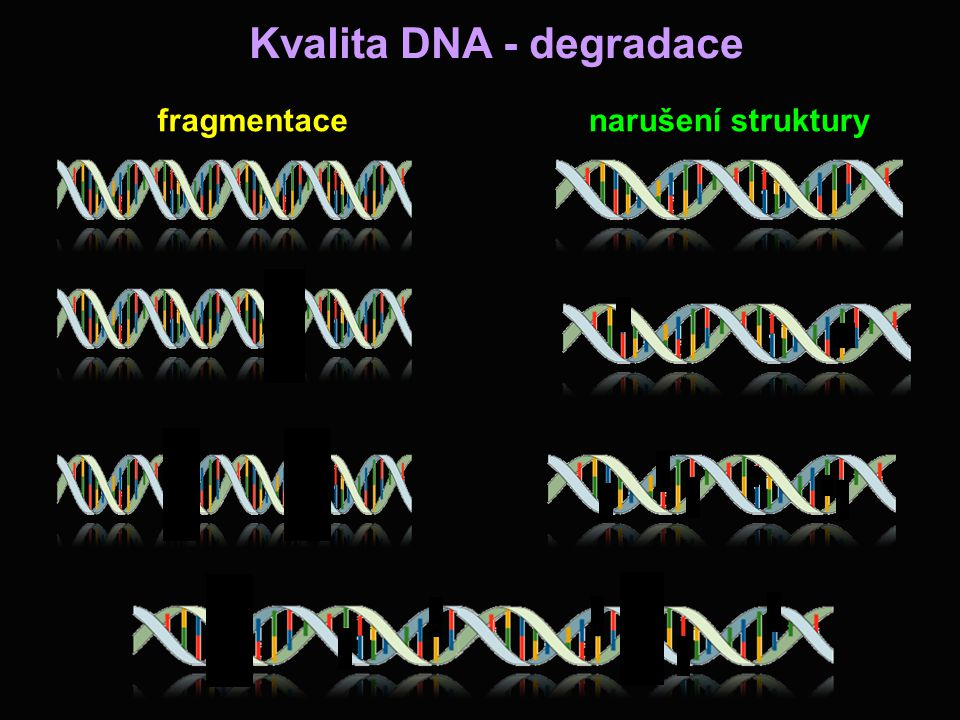 Kvalita DNA - degradace