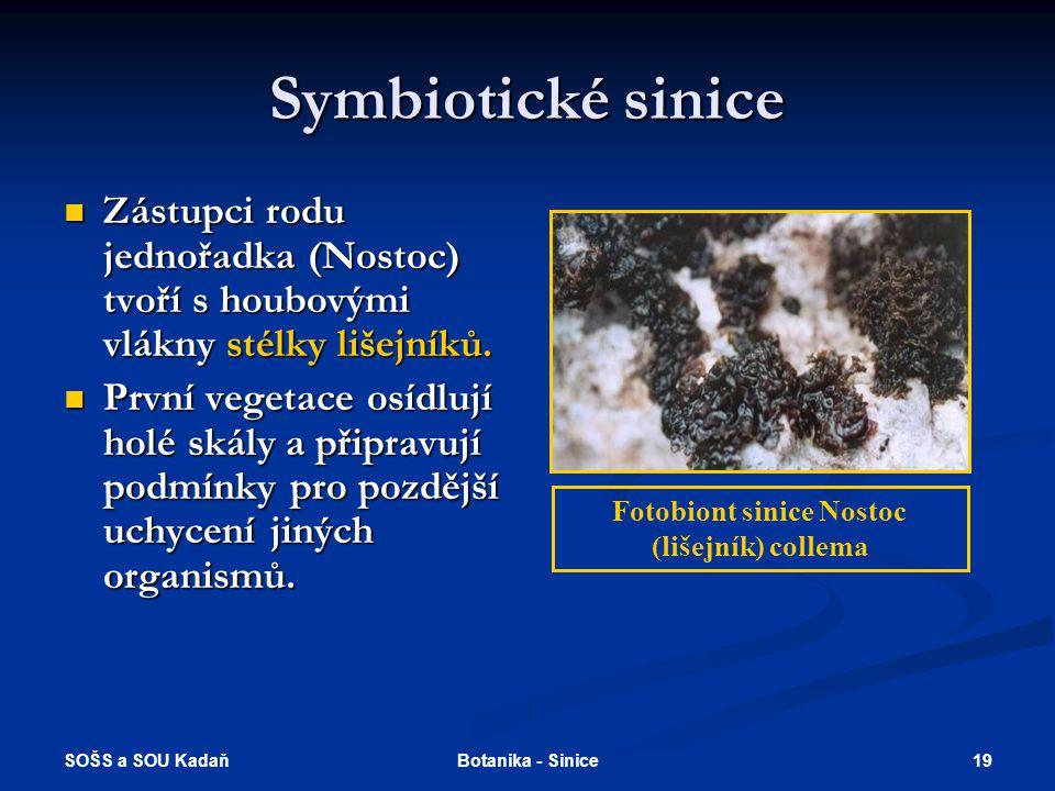 Fotobiont sinice Nostoc (lišejník) collema