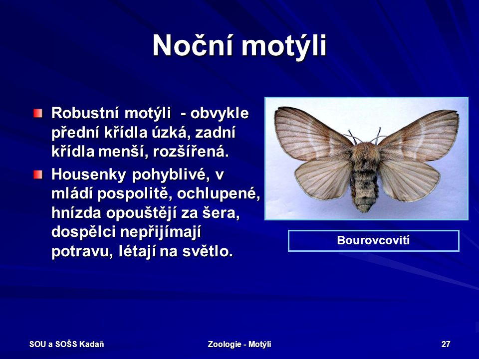 Noční motýli Robustní motýli - obvykle přední křídla úzká, zadní křídla menší, rozšířená.