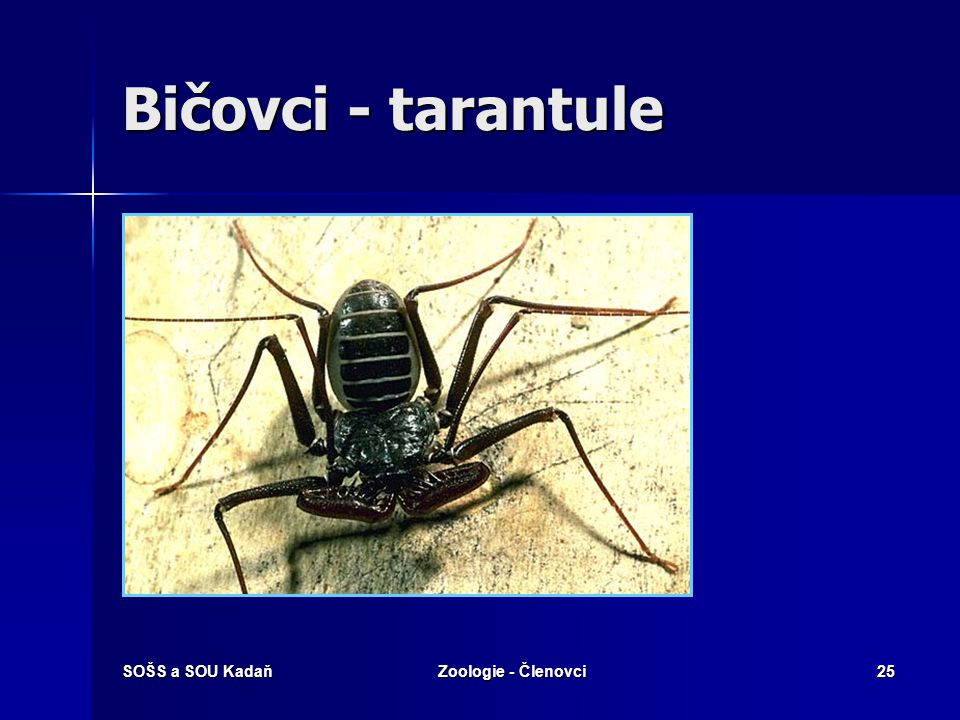 Bičovci - tarantule SOŠS a SOU Kadaň Zoologie - Členovci