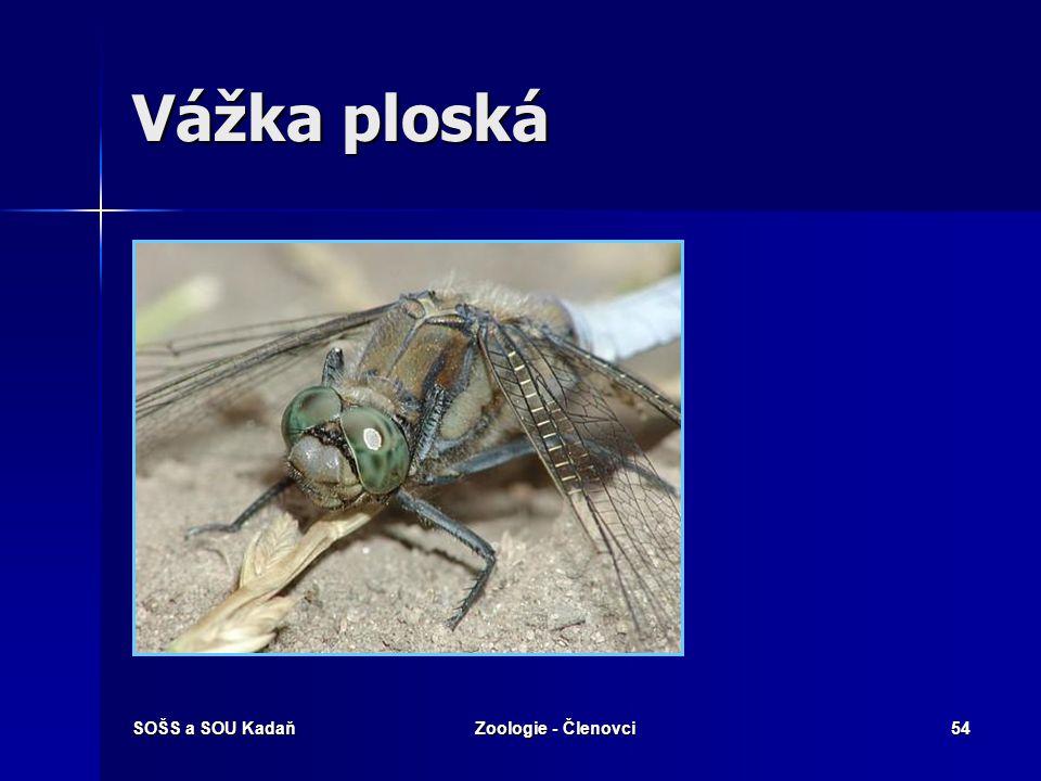 Vážka ploská SOŠS a SOU Kadaň Zoologie - Členovci