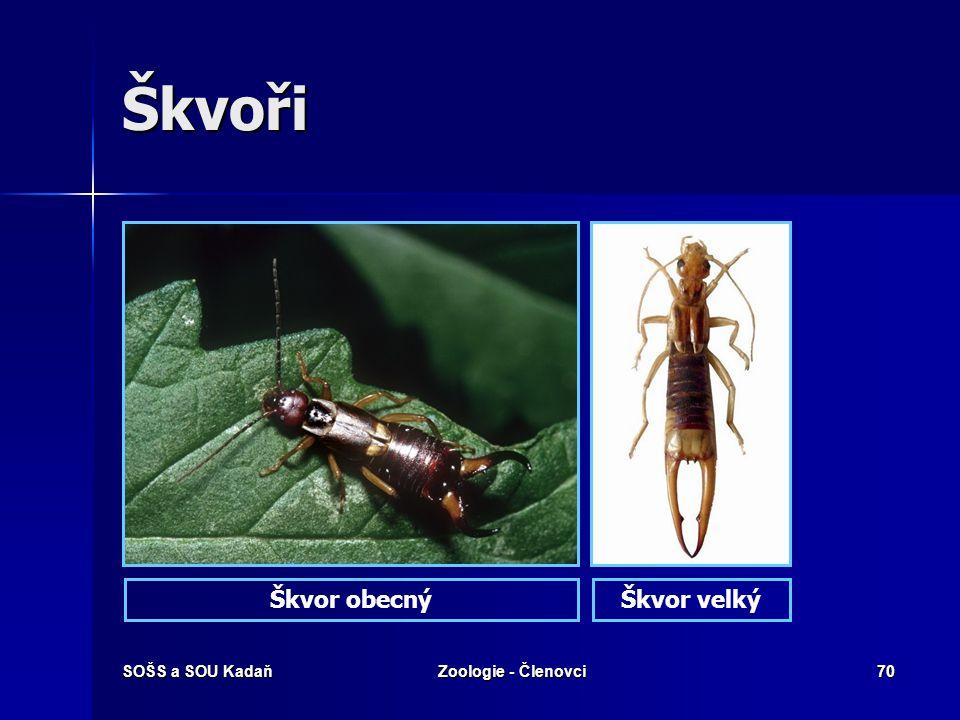 Škvoři Škvor obecný Škvor velký SOŠS a SOU Kadaň Zoologie - Členovci