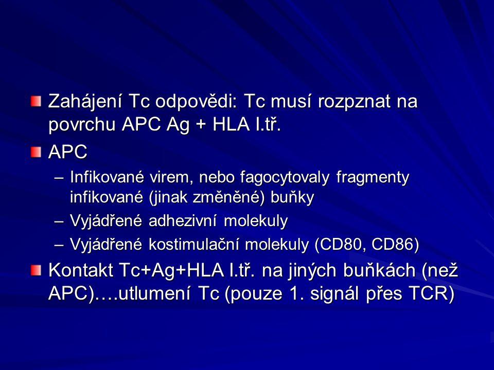 Zahájení Tc odpovědi: Tc musí rozpznat na povrchu APC Ag + HLA I.tř.