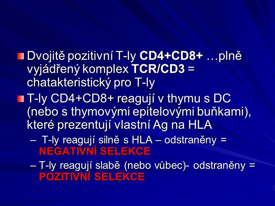 Dvojitě pozitivní T-ly CD4+CD8+ …plně vyjádřený komplex TCR/CD3 = chatakteristický pro T-ly
