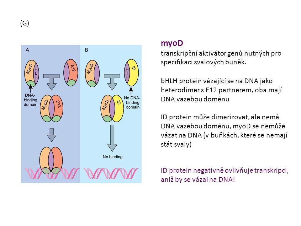 (G) myoD. transkripční aktivátor genů nutných pro specifikaci svalových buněk.