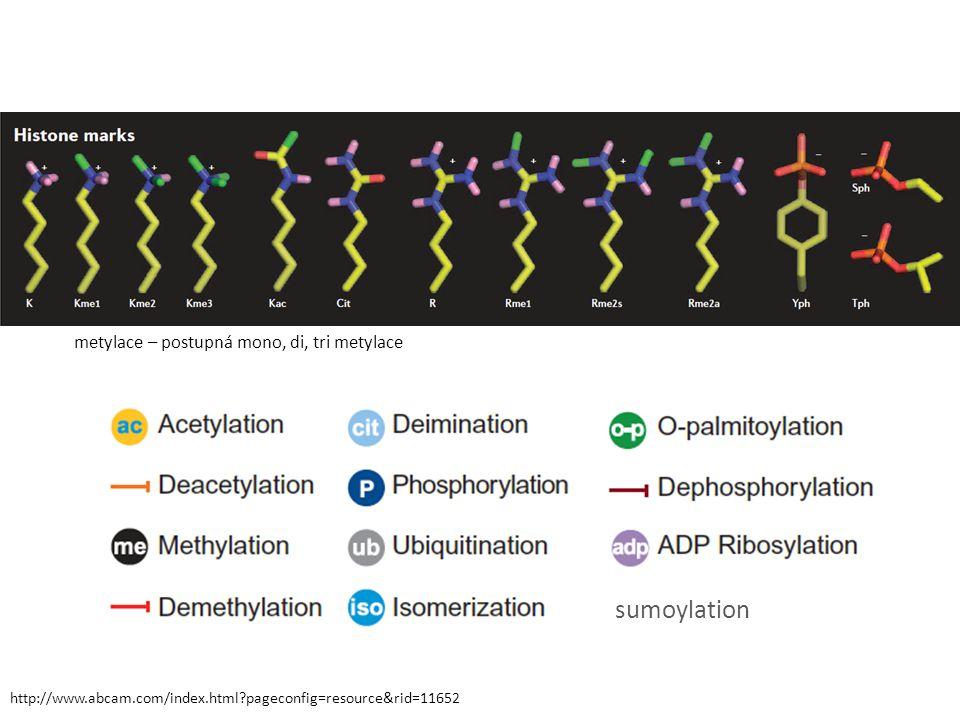 sumoylation metylace – postupná mono, di, tri metylace