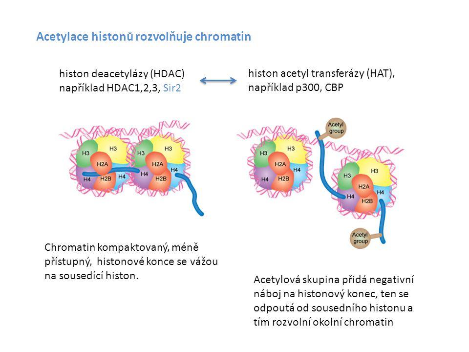 Acetylace histonů rozvolňuje chromatin