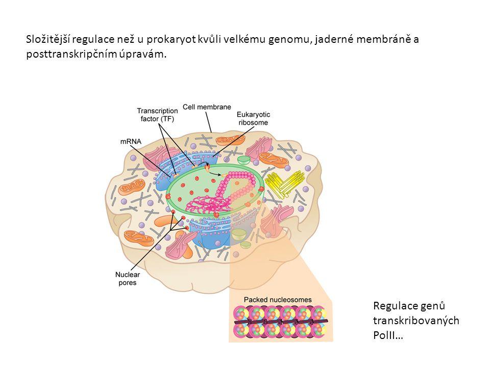 Regulace genů transkribovaných PolII…