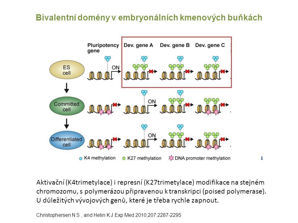Bivalentní domény v embryonálních kmenových buňkách