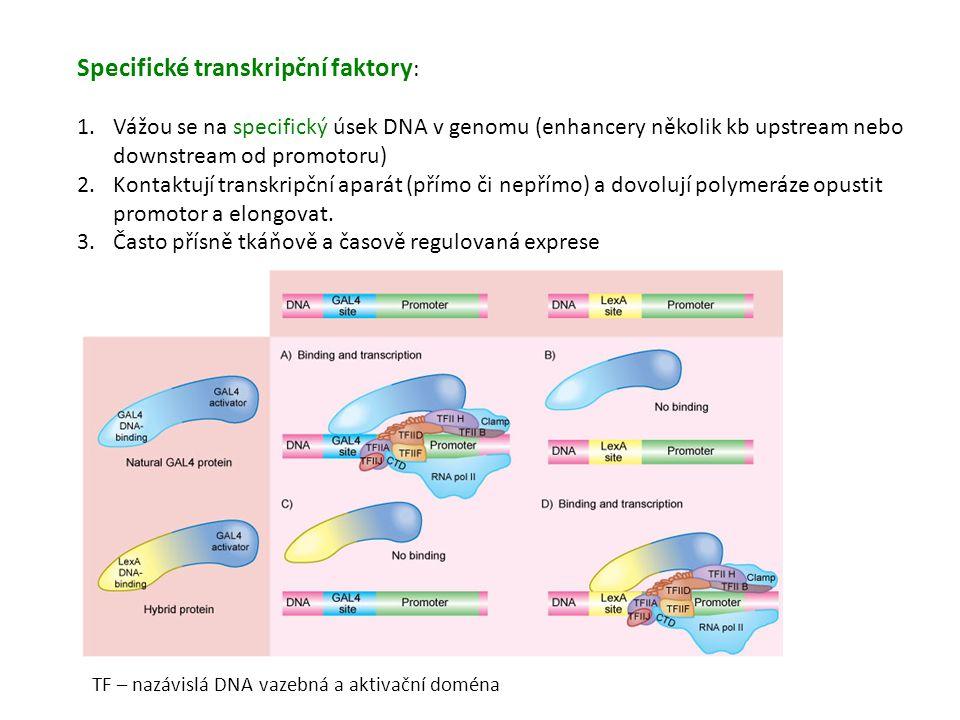 Specifické transkripční faktory: