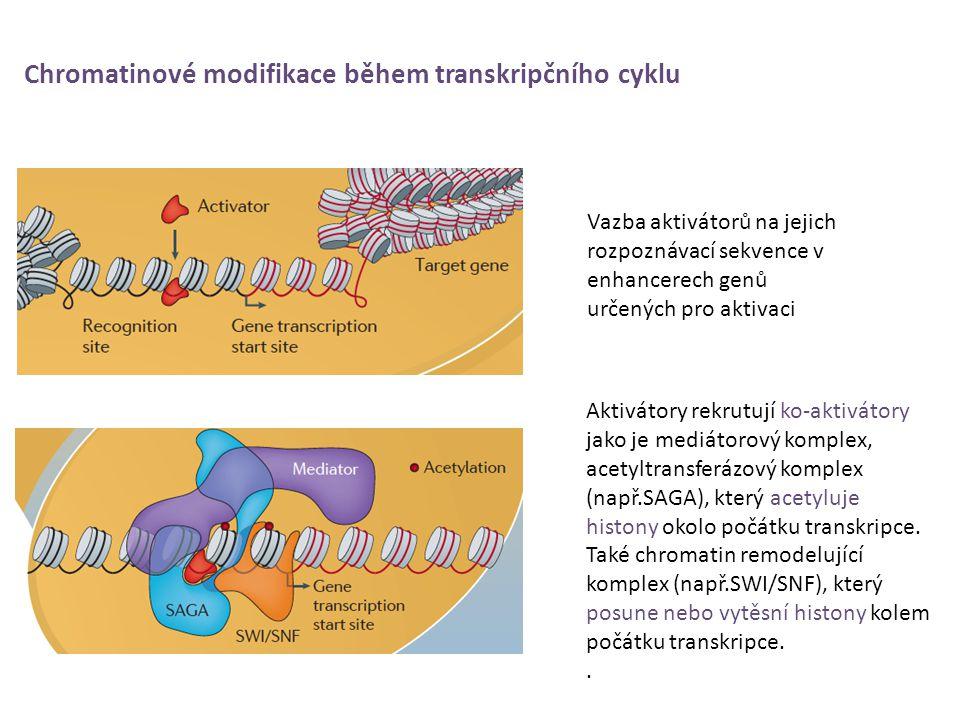 Chromatinové modifikace během transkripčního cyklu