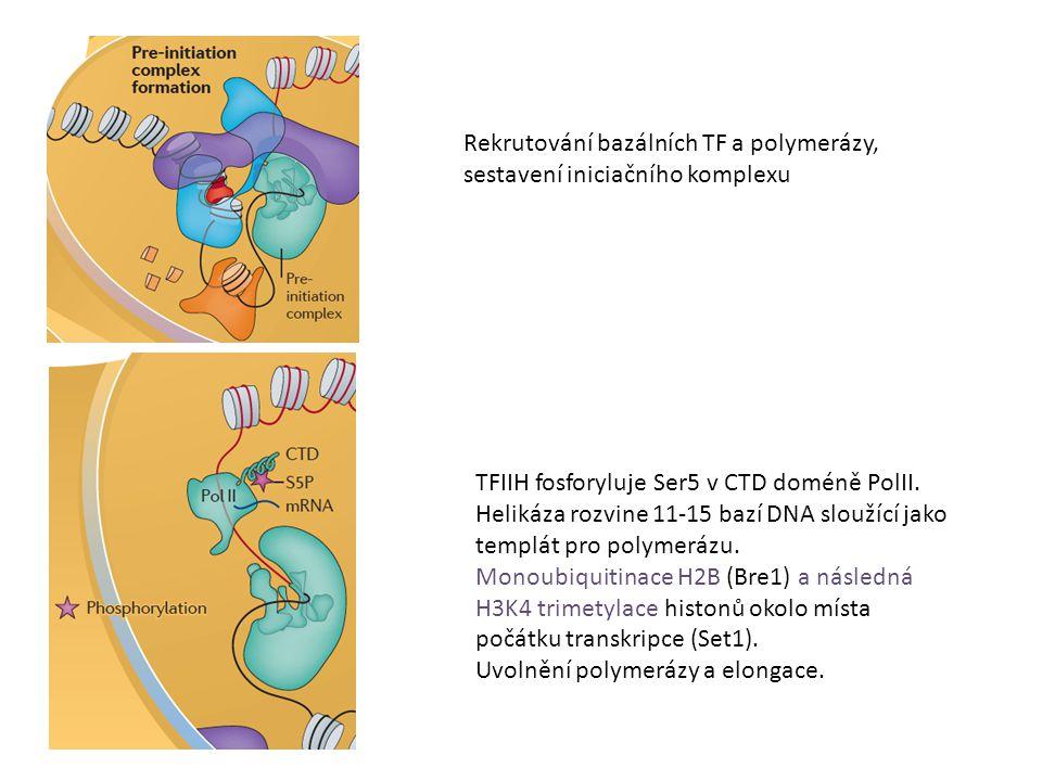 Rekrutování bazálních TF a polymerázy, sestavení iniciačního komplexu