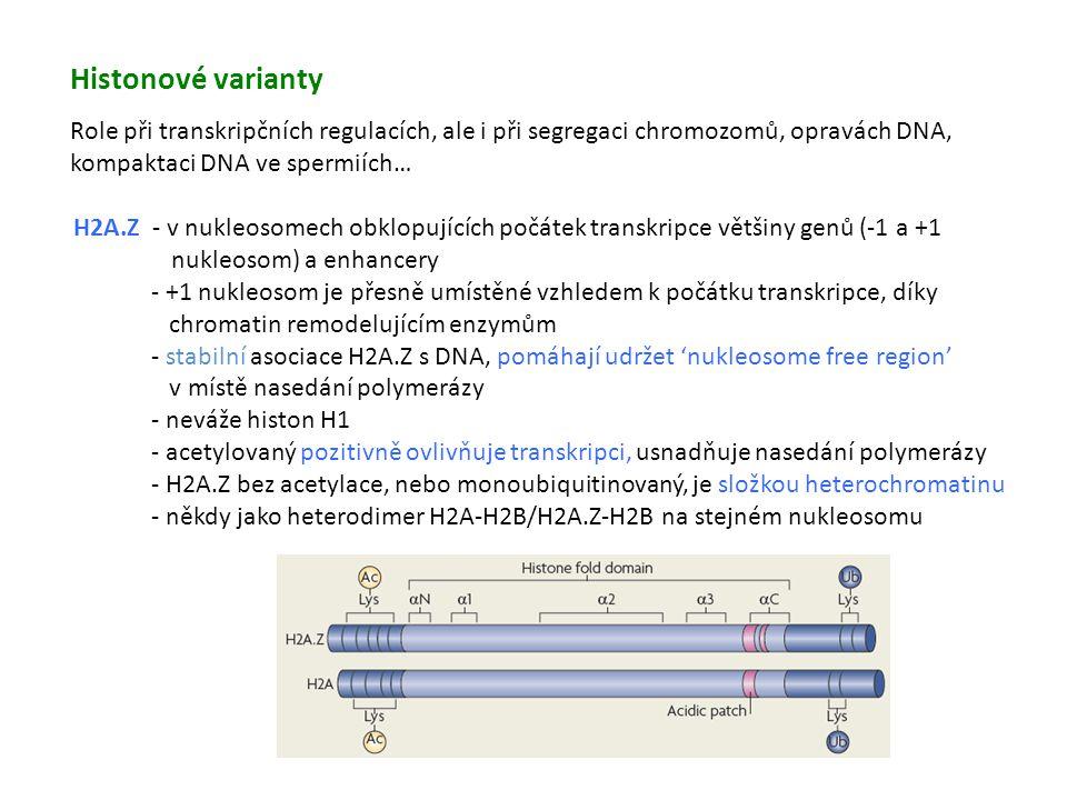 Histonové varianty Role při transkripčních regulacích, ale i při segregaci chromozomů, opravách DNA, kompaktaci DNA ve spermiích…