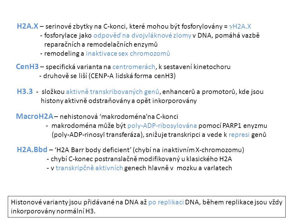 CenH3 – specifická varianta na centromerách, k sestavení kinetochoru