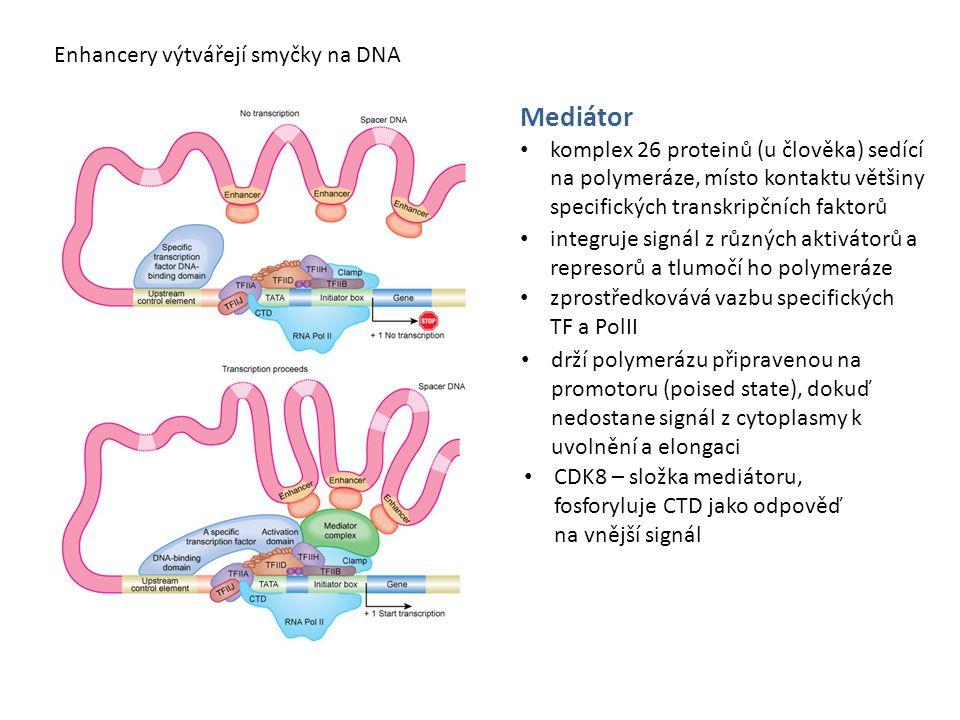Mediátor Enhancery výtvářejí smyčky na DNA