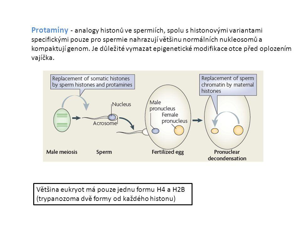 Protaminy - analogy histonů ve spermiích, spolu s histonovými variantami specifickými pouze pro spermie nahrazují většinu normálních nukleosomů a kompaktují genom. Je důležité vymazat epigenetické modifikace otce před oplozením vajíčka.