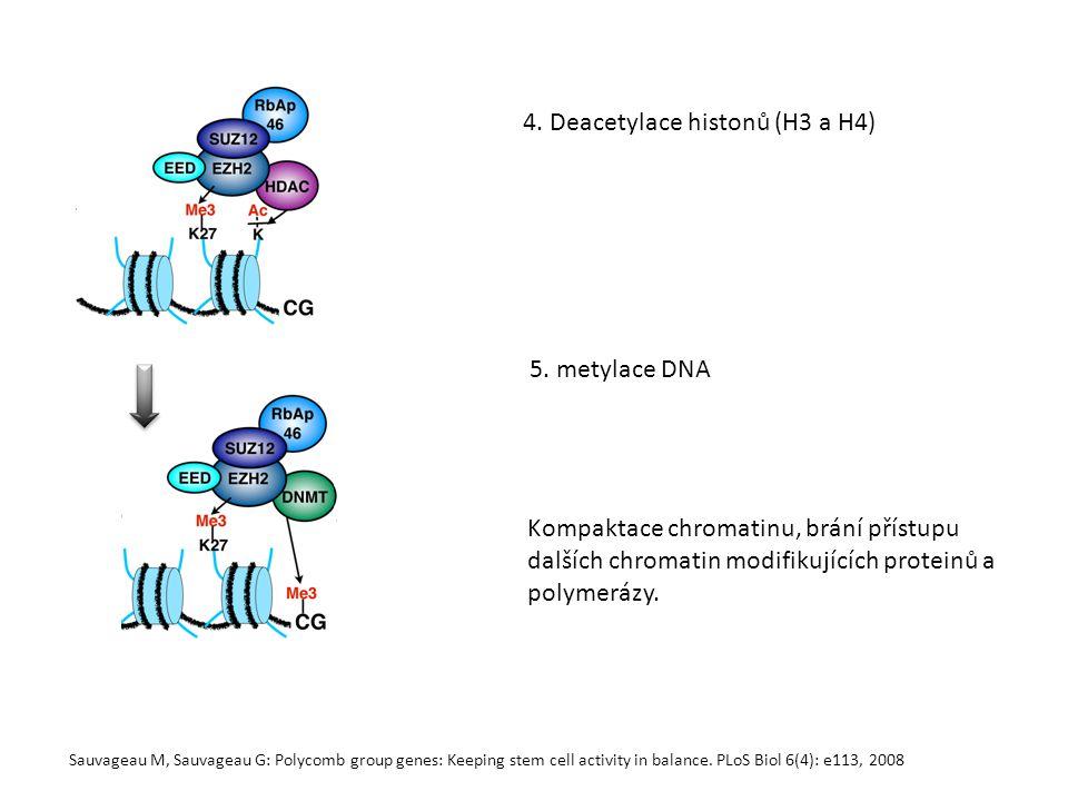 4. Deacetylace histonů (H3 a H4)