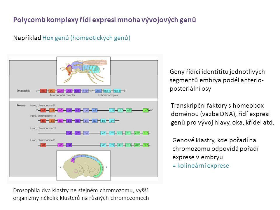 Polycomb komplexy řídí expresi mnoha vývojových genů