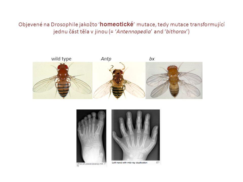 jednu část těla v jinou (= 'Antennapedia' and 'bithorax')