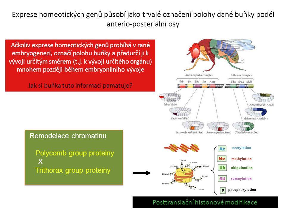 Exprese homeotických genů působí jako trvalé označení polohy dané buňky podél anterio-posteriální osy