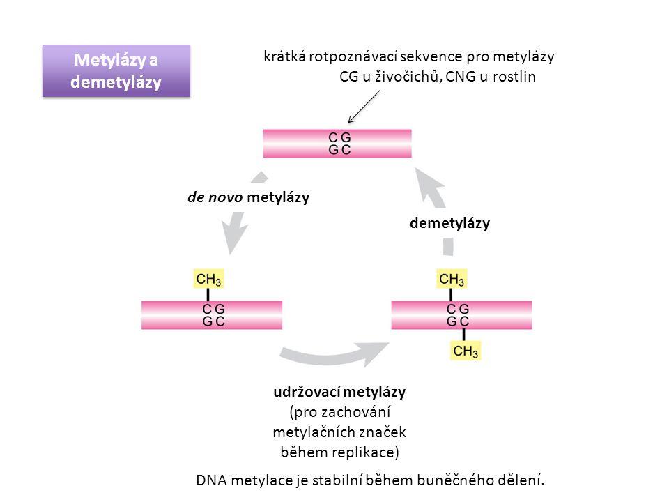 Metylázy a demetylázy krátká rotpoznávací sekvence pro metylázy