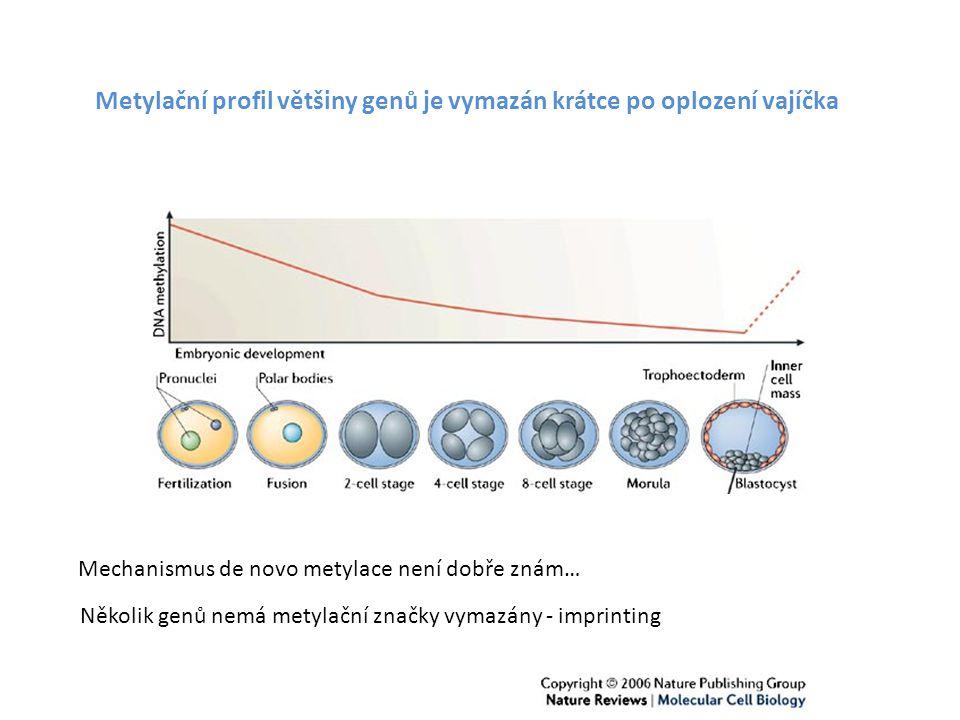 Metylační profil většiny genů je vymazán krátce po oplození vajíčka