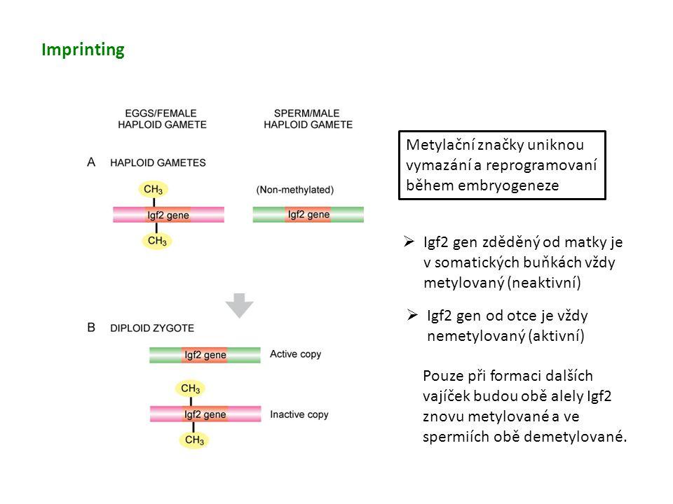 Imprinting Metylační značky uniknou vymazání a reprogramovaní během embryogeneze.
