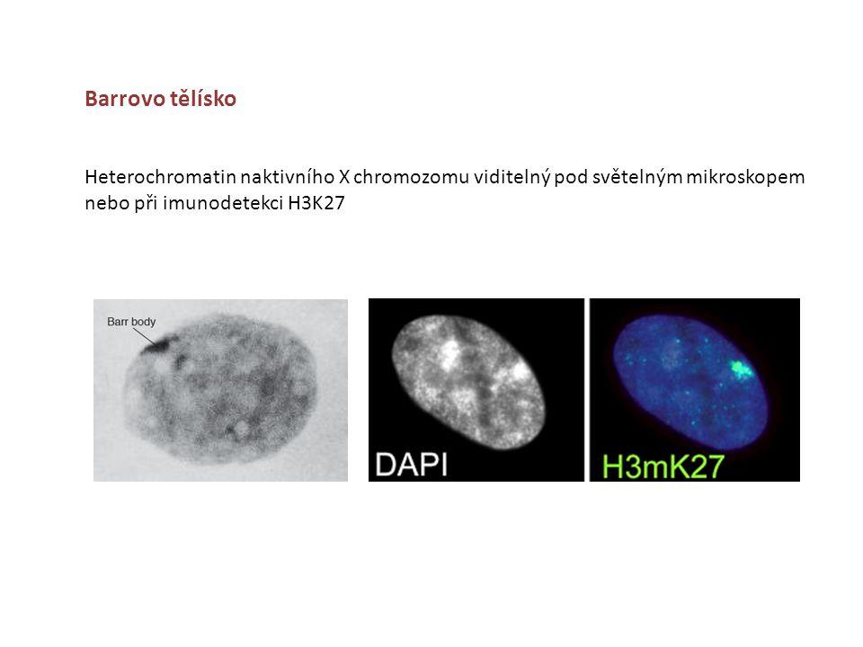 Barrovo tělísko Heterochromatin naktivního X chromozomu viditelný pod světelným mikroskopem nebo při imunodetekci H3K27.
