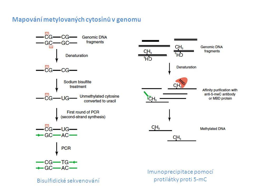 Imunoprecipitace pomocí protilátky proti 5-mC