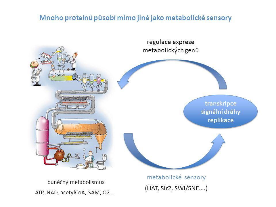 Mnoho proteinů působí mimo jiné jako metabolické sensory