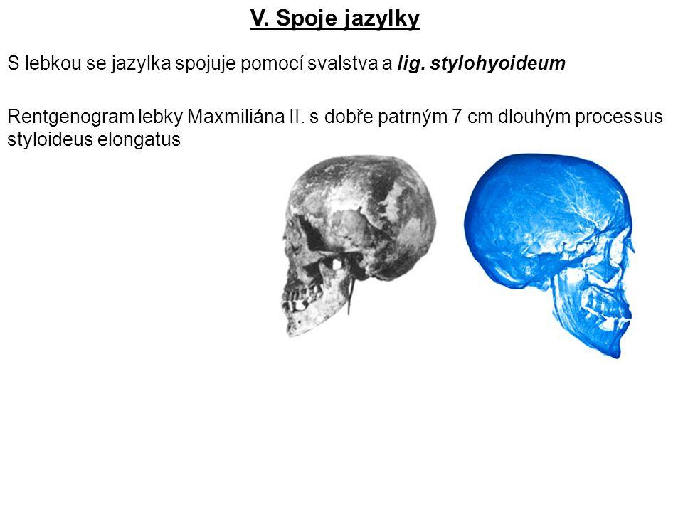 V. Spoje jazylky S lebkou se jazylka spojuje pomocí svalstva a lig. stylohyoideum.